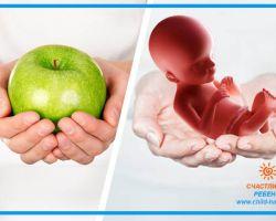 18 неделя беременности: размер и развитие плода